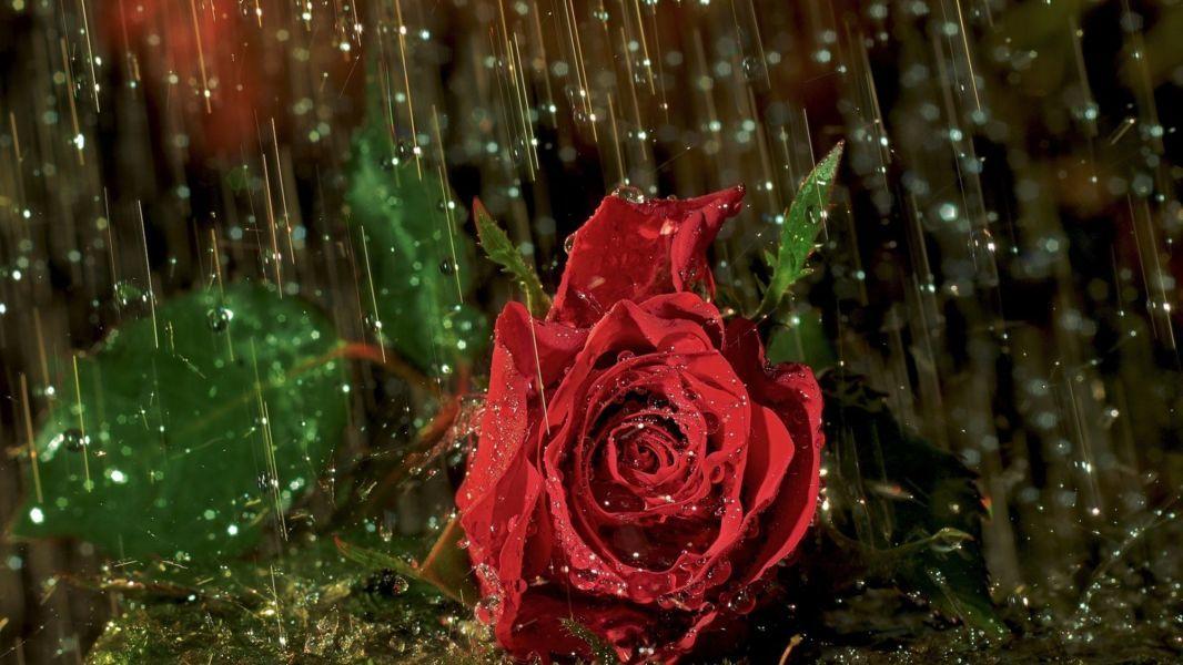 Hoa hồng trong mưa